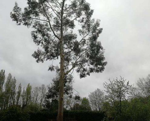 Eucalyptus Felling